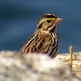 Savannah Sparrow by Erika  Kiley - Novices Only Wildlife ( bird, ocean, spring, sparrow )