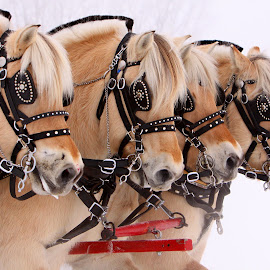 Fjord Power by Pam  Kipper Gabriel - Animals Horses ( norwegian fjord, equine, sleigh rally, sleigh, horse, harness, fjord,  )