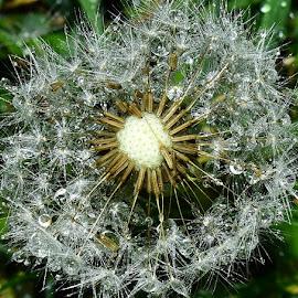 Dandelion. by Denton Thaves - Nature Up Close Other plants ( dandelion )