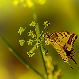 At rest by Radu Eftimie - Animals Insects & Spiders ( butterfly, yellow, swallowtail, flower )