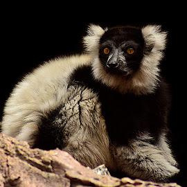 Lemur by Shawn Thomas - Animals Other Mammals