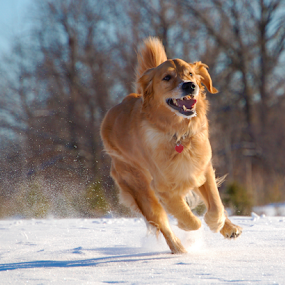 by Kevin Adams - Animals - Dogs Running