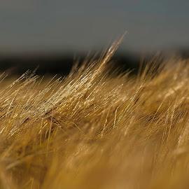 Wheat dancing in the wind.  by Finn Christiansen - Landscapes Prairies, Meadows & Fields ( wheat, nature, summer, sun )