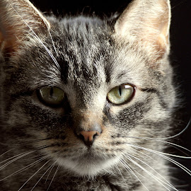 Whiskers by Deanna Ramsay - Animals - Cats Portraits ( cat, pet, tabby, portrait, animal )