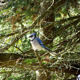 Boss Blue Jay  by Bill Boyd - Novices Only Wildlife (  )
