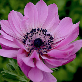 Anemone by Millieanne T - Flowers Single Flower