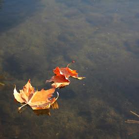 Autumn leaves by Graça Cortez - Nature Up Close Leaves & Grasses ( fall leaves on ground, fall leaves, blue, orange. color,  )