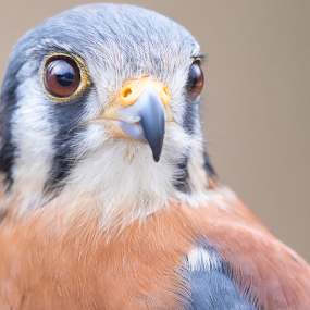 American Kestrel by Robert George - Animals Birds (  )