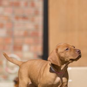 Hugarian Vizsla puppies-2.jpg