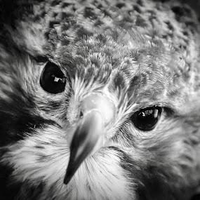 Hawk in Black & White by Amanda  Castleman  - Black & White Animals ( bird, nature, black and white, hawk, animal,  )