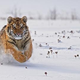 Race by Bencik Juraj - Animals Lions, Tigers & Big Cats ( big cat, beast, predator, winter, tiger )