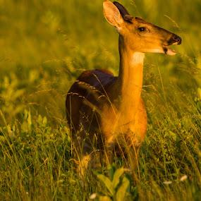 Lonely deer by Andy Goo - Novices Only Wildlife ( grass, meadow, wildlife, brown, deer, animal )