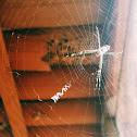 Aranha-de-prata