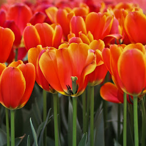 Tulips by Merina Tjen - Lim - Nature Up Close Flowers - 2011-2013 ( tulips; flower; orange; red; canon )