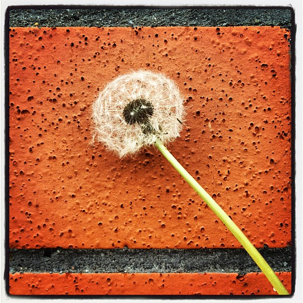 dens leonis by Timothy Monceratorum - Instagram & Mobile Instagram