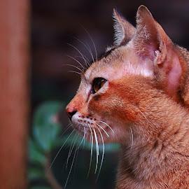 Looking by Raj Sarkar - Animals - Cats Portraits
