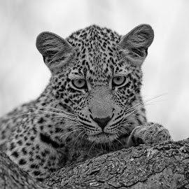 The Stare! by Anthony Goldman - Black & White Animals ( big cat, wild, predator, b & w.nature, south africa., tree, female, wildlife, ulusaba, cub, leopard )