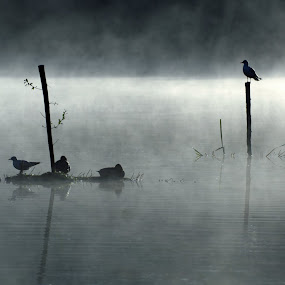 Birds On Misty Dawn Lake by Alex Graeme - Landscapes Waterscapes ( stover, seagulls, lake, misty )