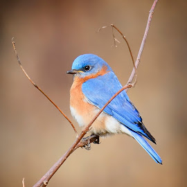 Eastern Bluebird - Male. by Andrew Lawlor - Animals Birds