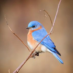 Eastern Bluebird - Male. by Andrew Lawlor - Animals Birds