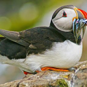 Puffin by Bob Rawlinson - Animals Birds