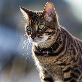 Bird spotting 2 by Lars Christiansen - Animals - Cats Portraits ( cat, bengal )