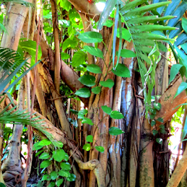 Cuban Laurel Tree by Jane Spencer - Nature Up Close Trees & Bushes ( philodendrun, palm fronds, tropical, bahamas, nassau, cuban laurel tree )