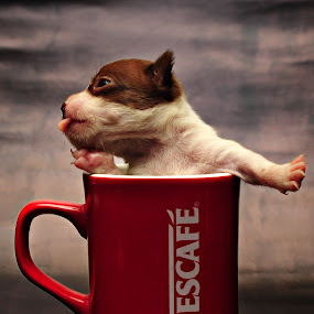 Yawn by Jon Gonzales - Animals - Dogs Puppies ( cup, puppy, chihuahua, teacup )