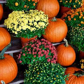Pumpkins and mums. by Peter DiMarco - Public Holidays Halloween ( orange, pumpkin, pumpkins, mums, halloween )