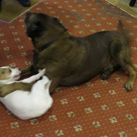 Big Dog and Little Dog by Angie Keverne - Animals - Dogs Playing ( jack russell, play, little, big, dog, small, large )