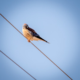 American Kestrel by Jim Hendrickson - Novices Only Wildlife ( bird, bird of prey, american, wildlife, kestrel, birds, birding )