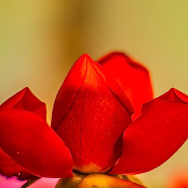 Red Beauty by Ken Nicol - Flowers Flower Buds (  )