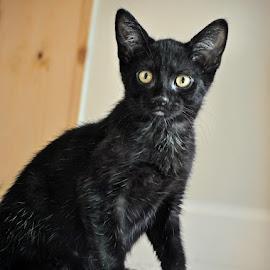 L kitten by B Lynn - Animals - Cats Kittens ( little, blacks, small, felines, black )