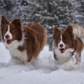 Veselje na snegu by Bojan Kolman - Animals - Dogs Running (  )