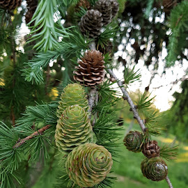 Cones by Ingrid Anderson-Riley - Nature Up Close Other plants