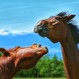 Horse play! by Todd Bellamy - Animals Horses ( farm, ranch, warmblood, equine, dressage, horses, play )