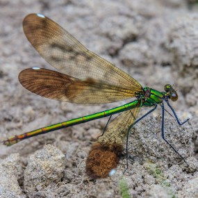 Damsel in Distress by Briand Sanderson - Animals Insects & Spiders ( damselfly, wings, bug, translucent, insect )