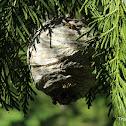 Yellow jacket wasp nest