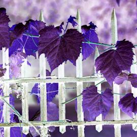 Grapevine Fence by Jennifer Duffany - Digital Art Abstract ( grapevine fence abstract oldfence deeppurple )