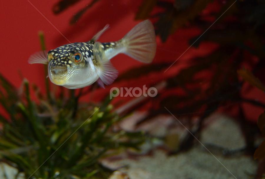 Blowfish by Mauritz Janeke - Animals Fish ( aquarium, blowfish )