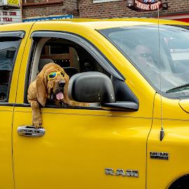 Pooch Riding Shotgun by T Sco - Animals - Dogs Portraits ( passenger, window, truck, drive, k9, pet, vehicle, road, dog, animal )