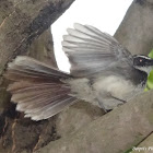 White-Spotted Fantail