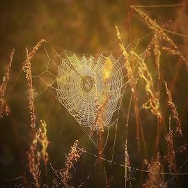 Golden Web by Sue Delia - Nature Up Close Webs ( field, web, sunrise, spider web, golden )