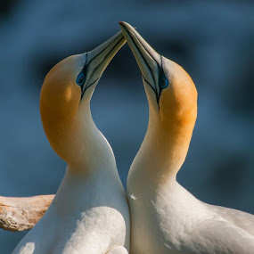 Mated for life by Mahdi Hussainmiya - Animals Birds ( gannets, love, pairs, ritual, symmetry, mating )