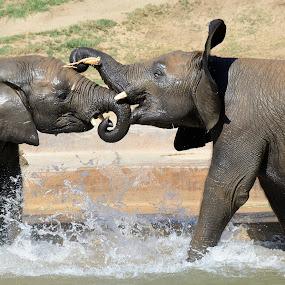 Pool party by Mariusz Murawski - Animals Other Mammals ( water, splash, pool, elephant, play )