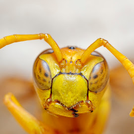 Face to Face by Swagata Ghosh - Animals Insects & Spiders ( nature#insect#macro#closeup#reversedlens )