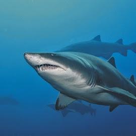 by Phil Bear - Animals Fish ( sand tiger shark, sand tiger, wreck, ragged tooth, fish, shark, north carolina )