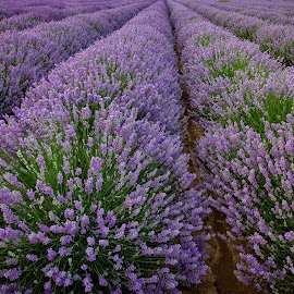 lavender rows by Eduard Valentinov - Landscapes Prairies, Meadows & Fields ( fragrance, travel, vibrant, plantation, backdrop, sky, nature, cultivation, flower, spa, texture, twilight, agriculture, horizon, lavender, sunlight, dusk, row, rural, country, scent, outdoors, moody, cultivated, scene, view, plant, landscape, blossom, sun, tranquil, dramatic, bulgaria, aromatherapy, purple, cloudscape, landscaped, field, amazing, red, industrial, pattern, color, sunset, cloud, summer, sunrise, stunning, scented )