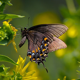 Black Tigertail Butterfly by Satyam Muench - Animals Other ( eastern black tigertail, butterfly, butterfly on flower, colorful butterfly, tigertail )