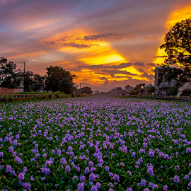 Wild n Beautiful by Devendra Hijam - Landscapes Sunsets & Sunrises ( nature, sunset, hyacinth, rays, golden,  )